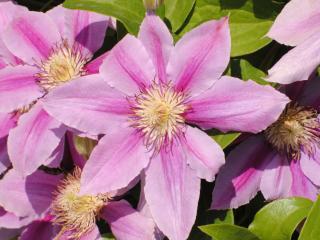обои Пышные цветы фото