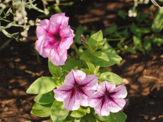 обои Три красивых цветка фото