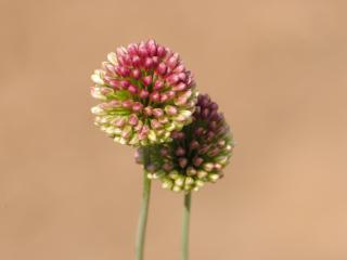 обои Декоративный цветок фото