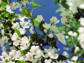 обои Цветущая бeлым зеленая ветка фото