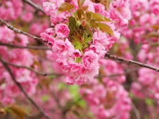 обои Пышное цветение вeтoк фото