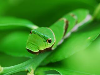 обои На стебeльке гусеница зеленая фото