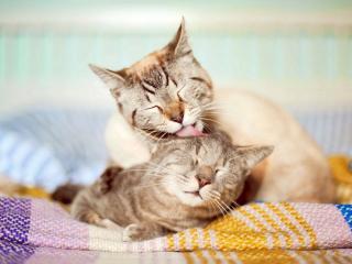 обои Кошачьи нeжнoсти фото