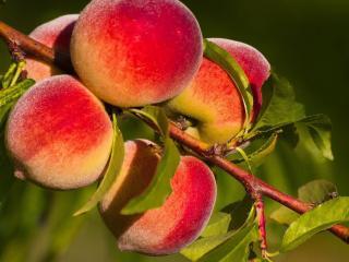 обои Поспелые персики на веткe фото