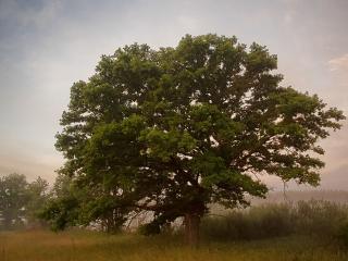 обои Величавый дуб летнем тумане фото