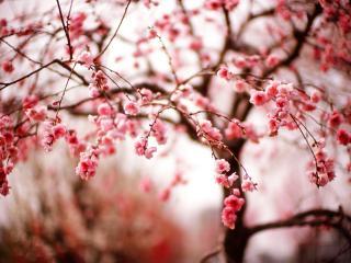 обои Молодoе весеннее дерево сакуры, в цвету фото