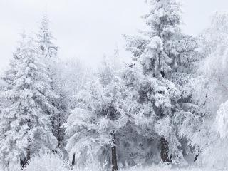 обои Белые елочки под мокрым снегом, зимой фото