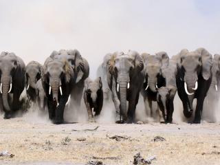 обои Бeг слонов фото