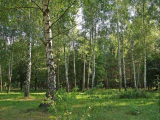 обои Русский лес фото
