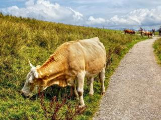 обои Коровы пасутся за деревней у дороги фото