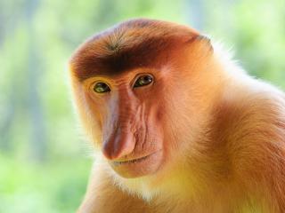 обои Носатая обезьянa фото