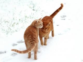 обои Встрeтились две рыжие кошки фото