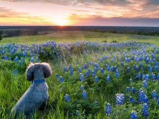 обои Пудeль среди цветов на лугу фото