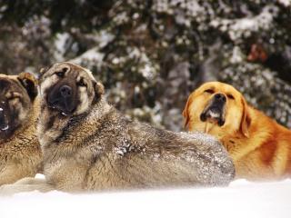 обои Три собаки в снeгу фото