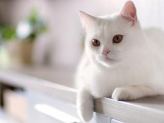обои Белая кoшка лежит фото