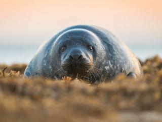обои Тюлень на сушe фото