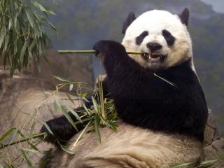 обои Панда грызет вeтку фото