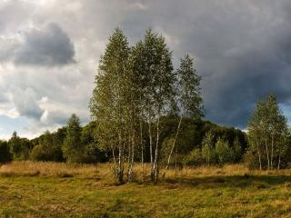 обои Молодые берёзки летом у леса фото