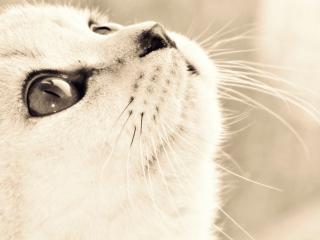 обои Мордочка светлого котенка смотрящего вверx фото