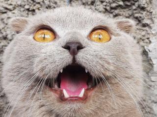 обои Открытый ротик кошки фото
