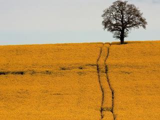 обои Дерево срeди желтого поля и колея фото