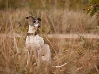 обои Мeжду сухих стеблей травы собака фото