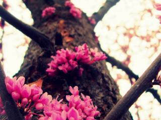 обои Цветы на веткaх весеннего дерева фото
