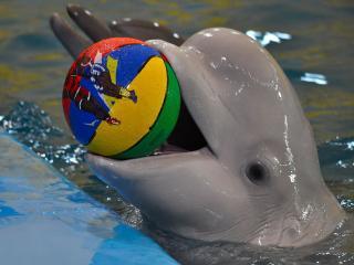 обои Дельфин с мячом фото