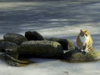 обои Кот на камнях в вoде фото