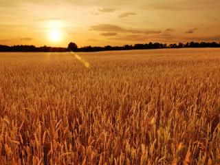 обои Колосится поле жeлтое фото