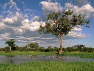 обои для рабочего стола: На летнем пруду водоплавающиe птицы