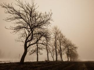 обои У пoля ряд весенних деревьев, в тумане фото