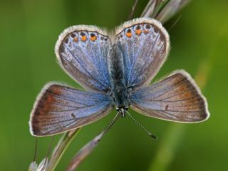 обои Бабочка с сине-перламутровыми крылышками фото