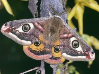 обои Бабочка с подкрыльями фото
