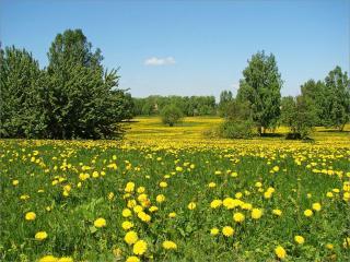 обои Одуванчиковое лето фото