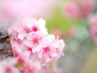 обои Весна,   розовое соцветие яблони фото