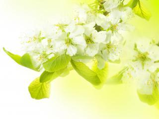 обои Весна,   яблоневые цветы,   свежесть фото