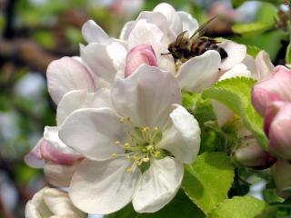 обои Весна,   цветы яблони крупным планом фото