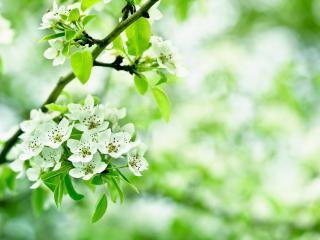 обои Весна,   ветвь цветущей яблони,   свежесть фото