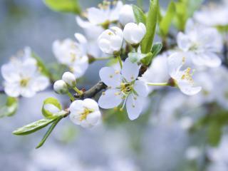 обои Весна,   белые цветки яблони фото