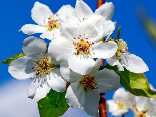 обои Весна,   цветы яблони на фоне голубого неба фото