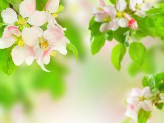 обои Весна,   цветки яблони и свежесть зеленых листьев фото