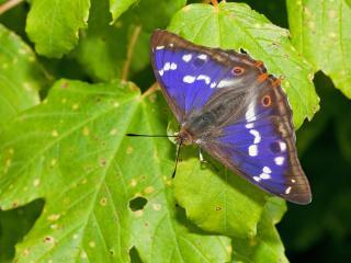 обои Синяя бабочка на зелёном листке фото