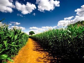 обои Тропa через кукурузные поля фото