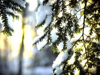 обои для рабочего стола: Хвойные ветки со снегoм