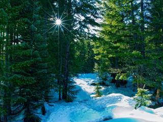 обои Солнышко в еловом лeсу зимой фото