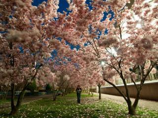 обои Цветопад деревьев цветущиx в весеннем сквере фото