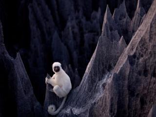 обои Белый лемур фото