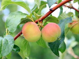 обои Молодые яблочки фото