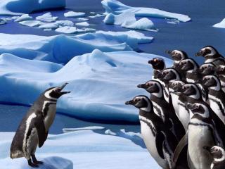 обои Пингвины и вожак фото